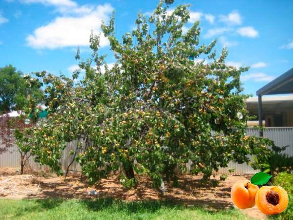 Место для посадки абрикоса должно быть солнечным