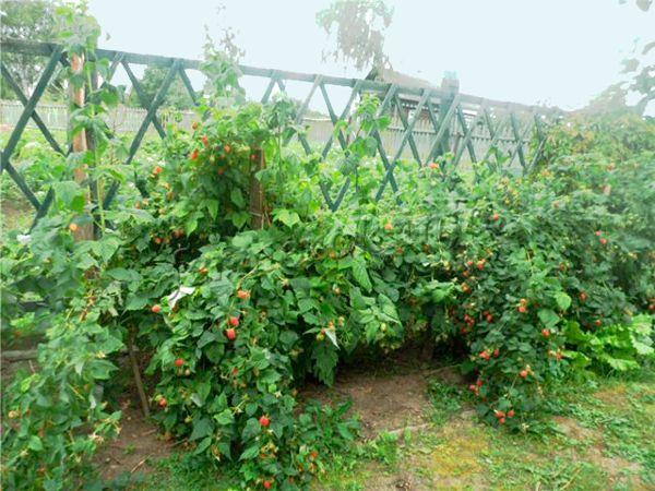 Место под высадку кустов должно быть только солнечное – в тени сорт Гордость России дает небольшие и не очень сладкие ягоды