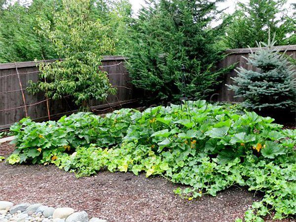 Место посадки может быть затемненным или солнечным, но очень важно, чтобы грунт был легким, плодородным