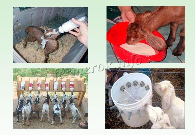 Методы выкармливания козлят