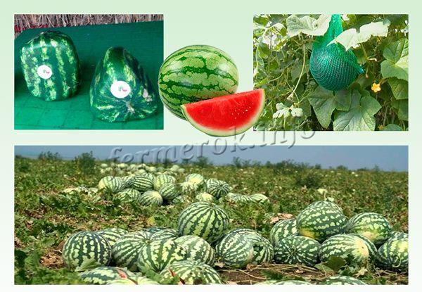 Методы выращивания арбуза - классический и нетрадиционный