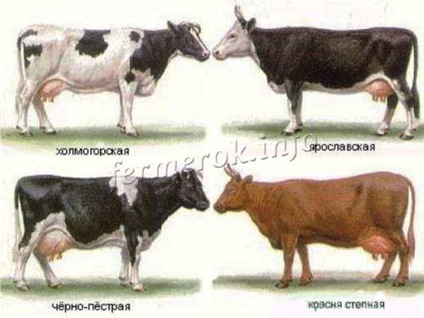 Молочные породы коров в России