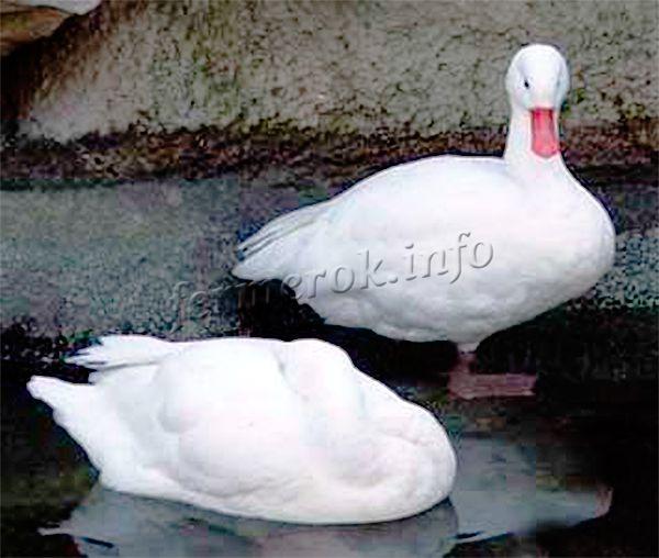 Московская белая утка