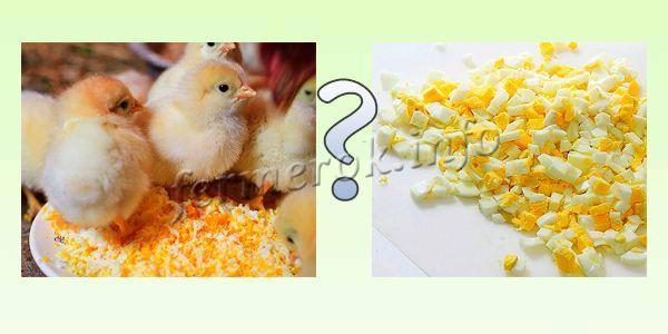 Можно ли цыплятам давать вареные яйца?