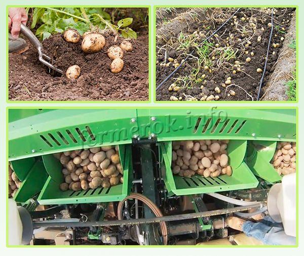 Можно заразить картофель даже во время его уборки