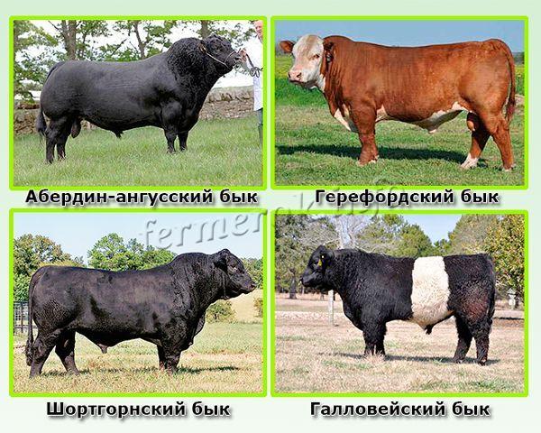 Мясные породы быков британского происхождения
