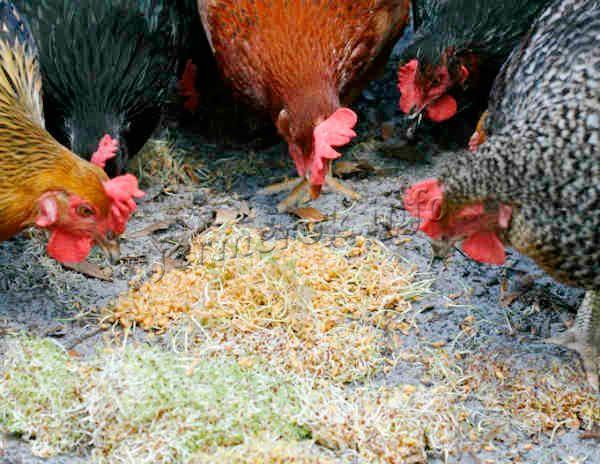 На 10 кур дается примерно одна пригоршня итогового продукта с малыми стеблями (до 3 мм) за один раз