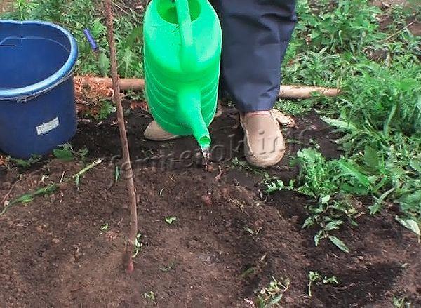На каждое деревце берется в среднем 1 ведро воды
