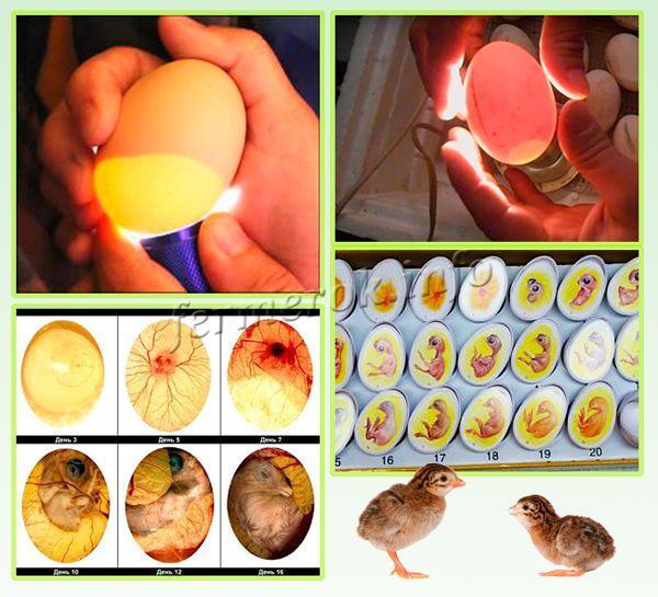 На овоскопе проверяют яйца на наличие сколов и трещин, а также самого эмбриона