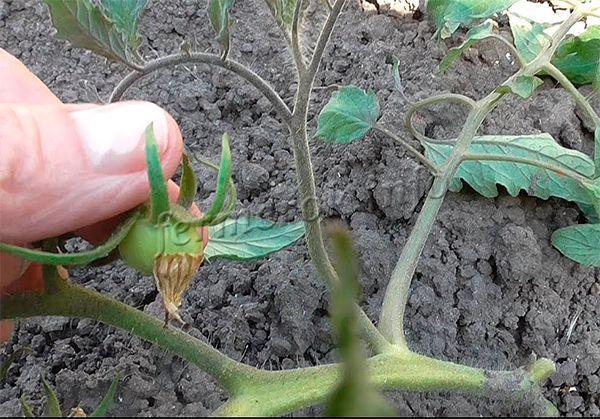 На протяжении всего периода развития плодов, от завязей до сбора урожая, земля под помидорами должна быть влажной