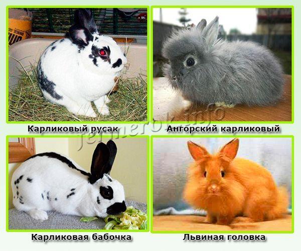 Неофициальные породы декоративных кроликов