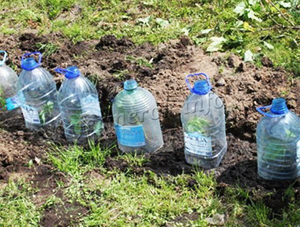 Нередко в качестве укрытия для черенков используют пластиковые бутылки, которым просто накрывают черенки