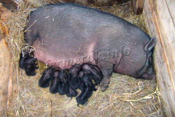 Новорожденные поросята находятся полностью на попечении самки