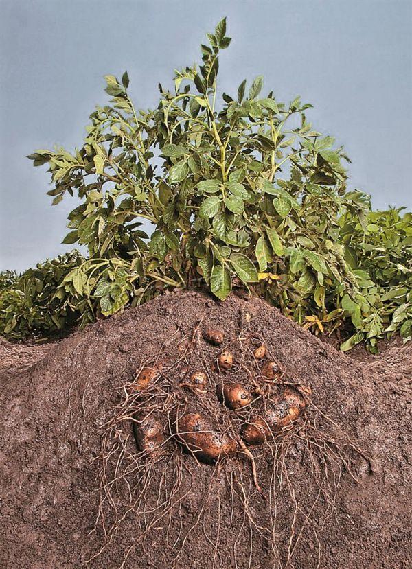 Обработка картофеля перед посадкой дает гарантии высокой урожайности