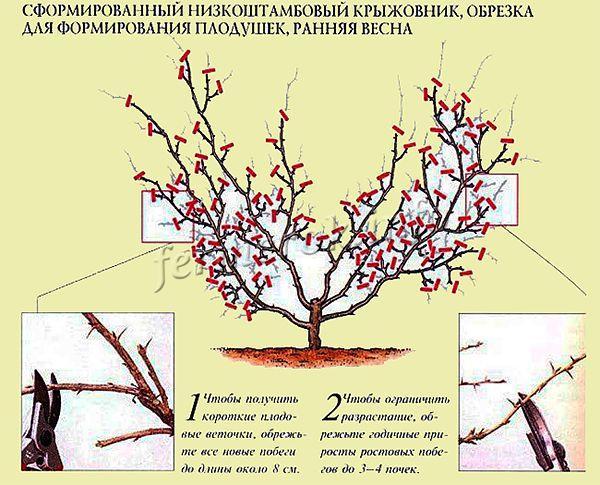 Обрезка лишних ветвей проводится каждый год