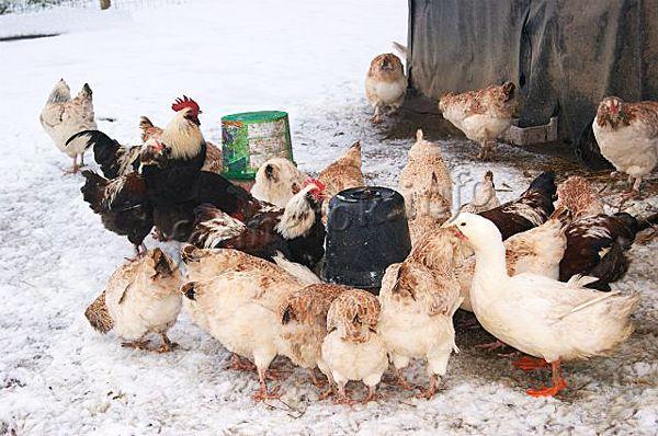 Обычно кур держат в течение 2-3 лет, а затем обновляют курятник