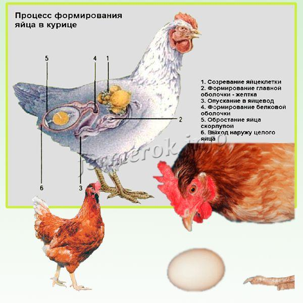 Обычно куры молодки начинают нестись тогда, когда их вес достигает 75% массы тела взрослой птицы