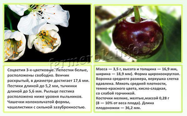 Описание вишни сорта Шоколадница