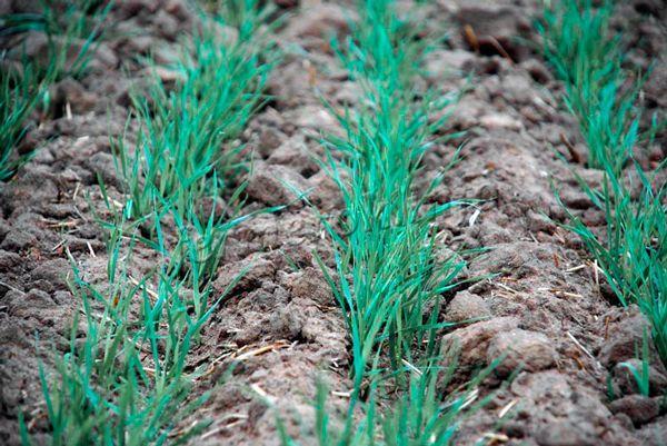 Оптимальное время посева озимой пшеницы 15-20 сентября