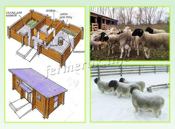 Особенности содержания овец Дорпер
