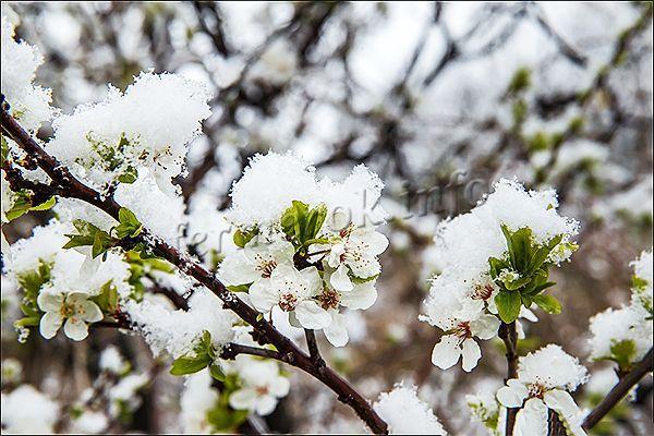 Перед цветением грушу удобряют для того, чтобы было больше цветов и чтобы они не опадали и не вымерзали