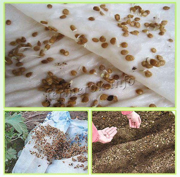 Перед высеванием семена стоит прорастить