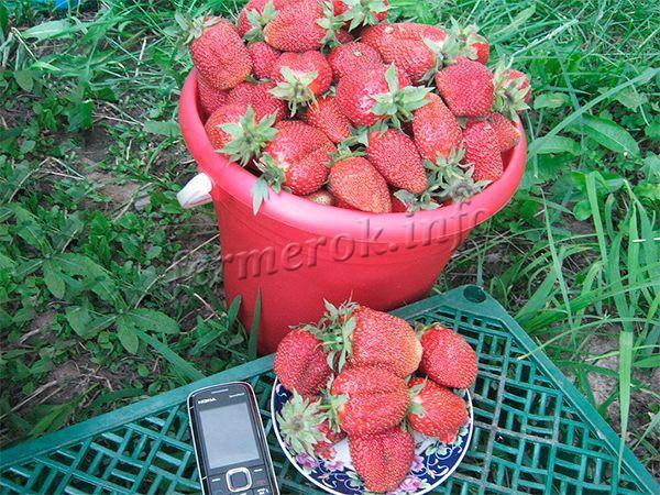 Первое плодоношение массовое, ягоды крупные (45-г), сладкие, имеют насыщенный вкус