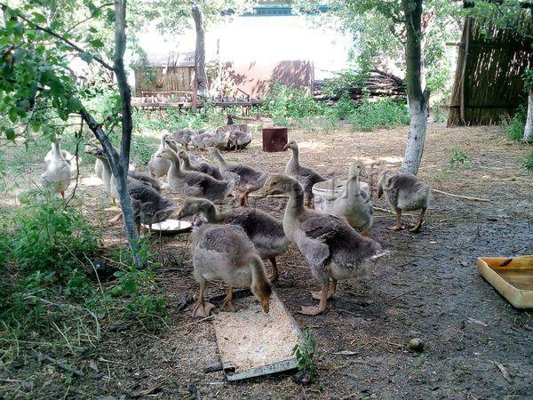 Питаются трехнедельные гусята не более 3-4 раз в день