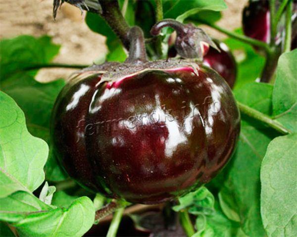 Плоды большие, красивые, мясистые и вкусные