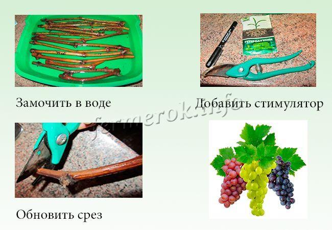 Подготовка черенков винограда