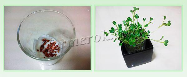 Подготовка семян и рассады редиса