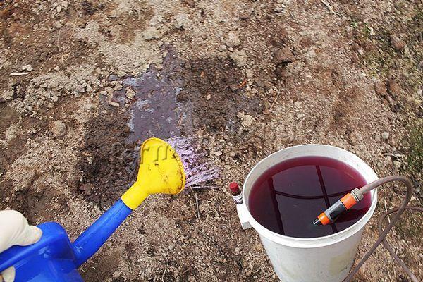 Полив почвы марганцовкой перед посадкой для обеззараживания