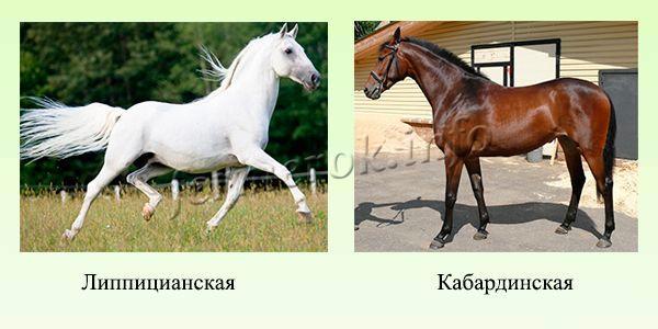 Породы верховых лошадей 2
