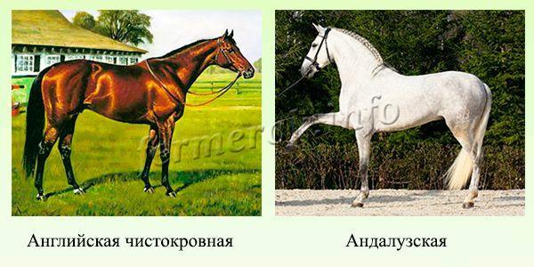 Породы верховых лошадей 3