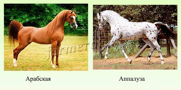 Породы верховых лошадей 4