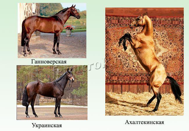 Породы верховых лошадей 5