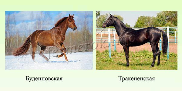 Породы верховых лошадей 6