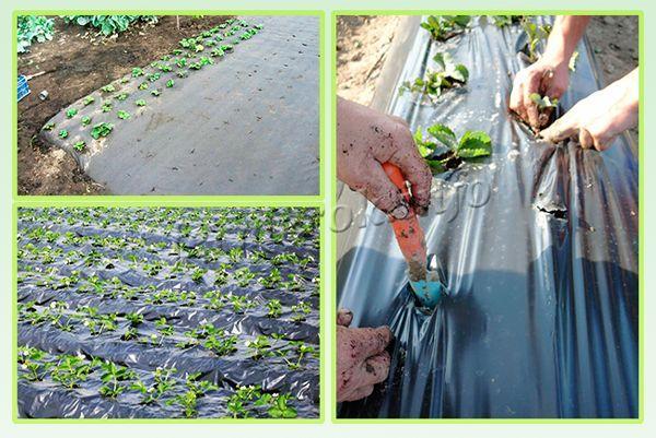 Посадка под агроволокно позволяет получать большее количество урожая, ягоды всегда будут чистые, упростится работа с сорняками