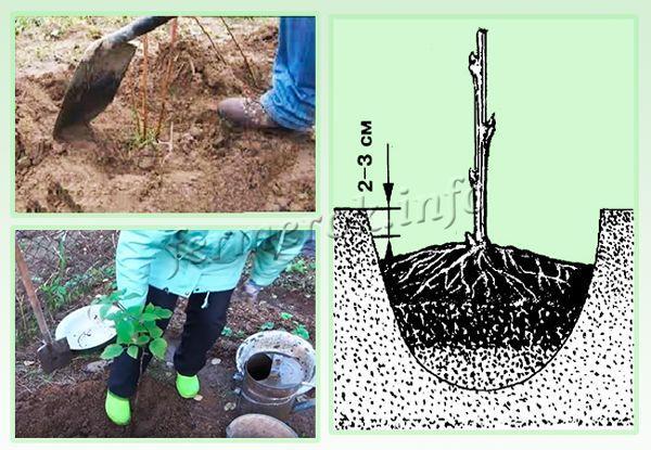Как правильно посадить малину осенью саженцами и как ухаживать