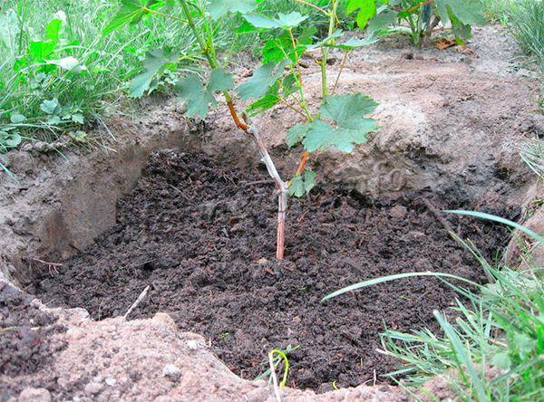 Посадка винограда весной позволяет не укрывать саженцы от морозов