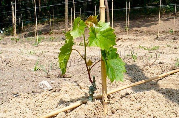 Посадка винограда весной саженцами в открытый грунт