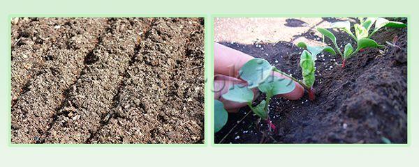 Посев семенами и посадка рассады в открытый грунт