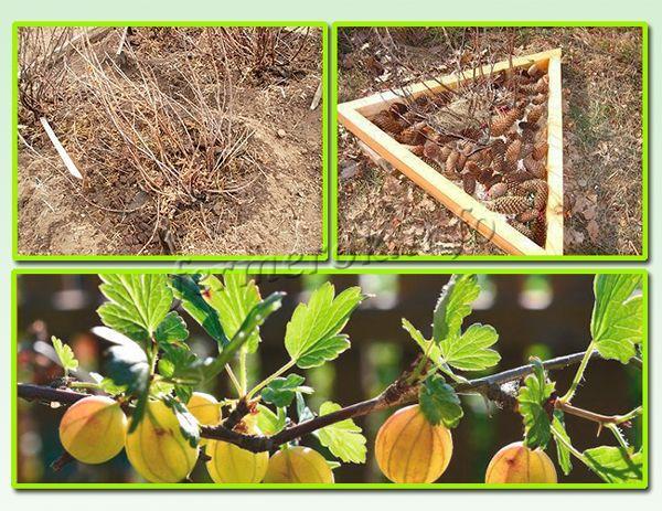 После осенней обрезки крыжовника нужно внести удобрения, мульчировать почву под кустом