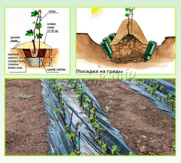 Правильное высаживание винограда Кодрянка в открытый грунт