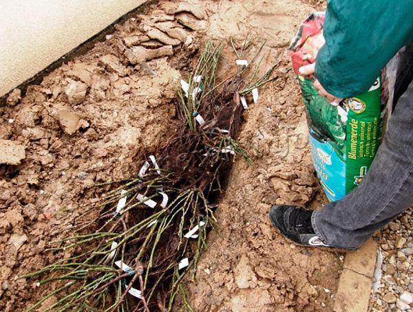 Прикапывание саженцев смородины до весны