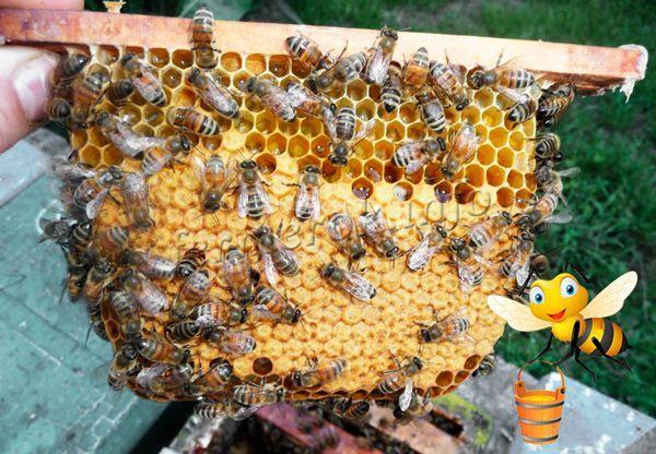 Продуктивность пчел Карника – 50-70 кг меда с семьи
