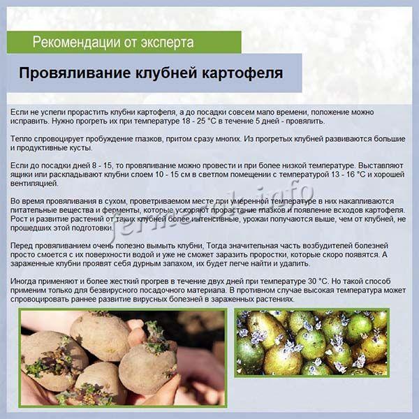 Проращивание картофеля методом провяливания