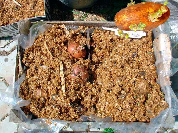 Проращивание картофеля во влаге