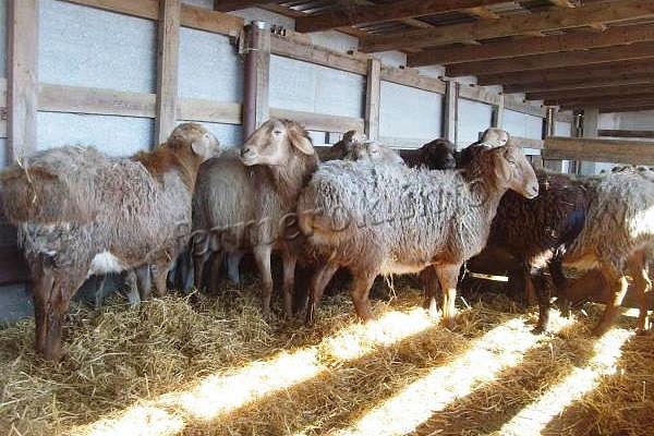 Просторный, сухой и отапливаемый сарай для овец