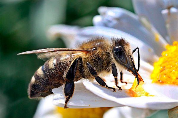 Рабочая пчела (медоносная) живет примерно 30-40 дней летом